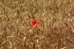 La luce del sole accarezza le spighe... (ilariasantinelli) Tags: campo grano luce sole papavero rosso spighe dorate fiore poppy sunlight