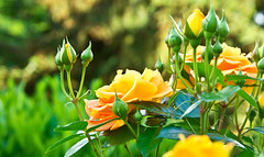 Frühsommer / Early Summer (schreibtnix on 'n off) Tags: deutschland germany bergischgladbach frühling springtime pflanzen plants blüte blossom rose nahaufnahme closeup frühsommer earlysummer olympuse5 schreibtnix