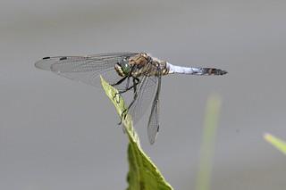 Orthetrum réticulé - Orthetrum cancellatum - Black-tailed skimmer