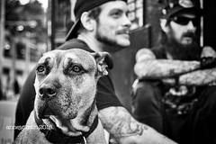 pilon (Anne J Gibson) Tags: streetphotophy annejgibson torontoontario fujifilmxt2 outdoors kensingtonmarket kensingtonlife dog kensingtondogs