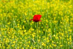 Coquelicot   (2) (Ezzo33) Tags: coquelicot coquelicots bourdon rouge jaune vert bleu mauve france gironde nouvelleaquitaine bordeaux ezzo33 nammour ezzat parc jardin sony rx10m3