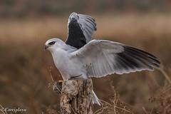 Elanio Común, Black-winged Kite (Elanus caeruleus) (Corriplaya) Tags: elaniocomún blackwingedkite elanuscaeruleus corriplaya birds aves elanioazul