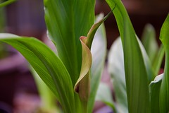 Unfolding Calla Lily! (ineedathis, Everyday I get up, it's a great day!) Tags: callalily patio zantedeschiaaethiopica backyard flowers tropical exotic purple green southafrica nikond750 colors garden nature summer