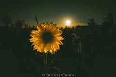sunflower (fotos_by_toddi) Tags: fotosbytoddi voerde niederrhein nrw nordrhein westfalen sonnenblume sunflower flower flowers blume blumen sonne sonnenuntergang sunset sun sony sonya7 sky sonyalpha7 stimmung alpha a7 alpha7 sonnenschein schein leuchten