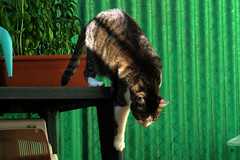 Ellen Up-Down (Alfredo Liverani) Tags: canong5x canon g5x pointandshoot point shoot ps flickrdigital flickr digital camera cameras europa europe italia italy italien italie emiliaromagna romagna faenza faventia faience animal kitten gatto gatta gatti gatte cat cats chats chat katze katzen gato gatos pet pets tabby furry kitty moggy moggies gattino animale ininterni animaledomestico aliceellen alice ellen happy caturday happycaturday lightshade light shade