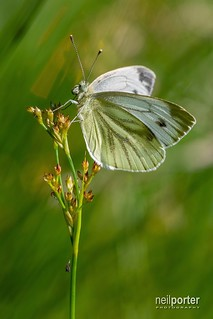 Green-veined White butterfly (and spider!)