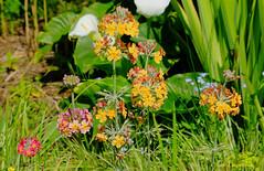 Primevère - Primula japonica hybride (claude 22) Tags: fiori fleurs jardin pellinec nature natural garden flowers verdure green breizh penvénan bretagne brittany botanical botanique végétation primevère primulajaponicahybride