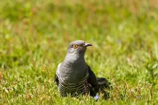 Colin the Cuckoo