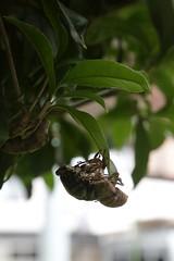 180720012 (murbozero) Tags: murbo japan cicada