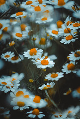 Papatya (Caucas') Tags: nature flowers daisy flickr flower plant background pattern organic photo daisies white outdoor landscape field nikon 35mm slr dslr papatya doğa tabiat yaşam life yeşil focus center green basic orange 85mm 85mm18g nikkor d7000