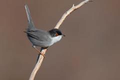 sardinian warbler (leonardo manetti) Tags: bird nature red winter colours naturephotography field natural nikkor countryside green morning black uccello wood forest fields dawn sunrise sardinian warbler albero legno animale