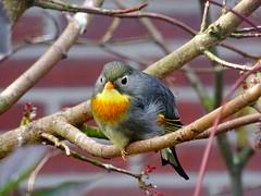 Red-billed leiothrix (Rasenche) Tags: landgoedhoenderdaell animal redbilledleiothrix leiothrixlutea bird nachtegaal annapaulowna