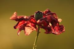 san giovanni (@5imonapol) Tags: poppy flower red macro nature bokeh sunset june summer