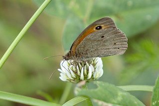 Bruin Zandoogje-Meadow Brown (Maniola jurtina)