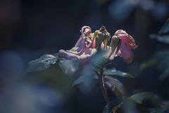 Hip Rose (shawn~white) Tags: 100mm canon6d plant rose shawnwhite tyglyn aged blue bokeh decay dreamy floral flower garden glowing melancholy nostalgia pink polarizer primelens rosa splittone vintage ciliauaeron wales unitedkingdom gb