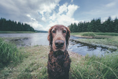 My love Boony (KevinBJensen) Tags: irish setter dog love wide