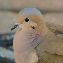 Purple-spotted dove (Vox Sciurorum) Tags: bird dove head mourningdove sigma500mmf45ex