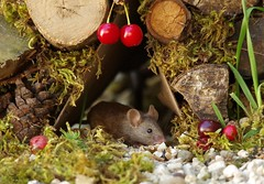 Garden mouse  (2) (Simon Dell Photography) Tags: sheffield simon dell tog photography s12 uk england old english countryside wildlife nature summer birds animals cute garden mouse log pile mossy moss wild funny awesome home house door fairy borrower hobbit