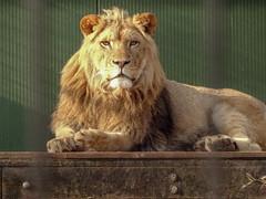 Aslan00049 (Rasenche) Tags: animal carnivore cat mammal bigcat annapaulowna stichtingleeuw lion