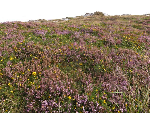 Heath with Calluna vulgaris & Ulex gallii. Photo by Micheline Sheehy Skefffington