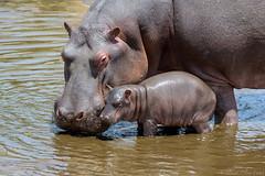 Grande-pequeño (David Perez Lopez) Tags: hipopótamocomún hipopótamo hippopotamusamphibius commonhippopotamus hippopotamus áfrica africa tanzania serengueti serengeti nikon d4s 200400vrii