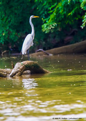 2018.06.23.0185 Egret (Brunswick Forge) Tags: 2018 virginia summer bird birds water outdoors outdoor nature sky air nikond500 tamron150600mm grouped favorited commented