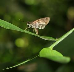 Parphorus jaguar (Over 4 million views!) Tags: butterfly hesperiidae panama parphorusjaguar butterflies insect