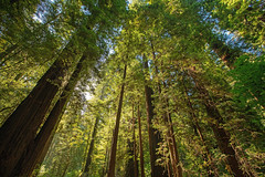 Reaching to the Sky (lennycarl08) Tags: redwoods avenueofthegiants trees forrest northerncalifornia california