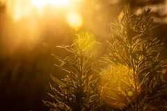 solar edging (Christian Collins) Tags: sunset solar weeds field edging glowing glowingleaves summer goldenhour canoneos5dmarkiv