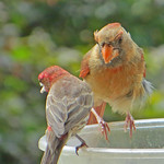 Northern Cardinal and House Finch thumbnail