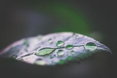 Dops on a leaf (Robert Körner) Tags: blatt leaf drops tropfen nikon 105mm makro macro closeup