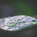 Dops on a leaf thumbnail