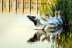 Birds of a Feather (Betty Hodges) Tags: ilce7m3 birds wetlands waterfowl flock pelicans