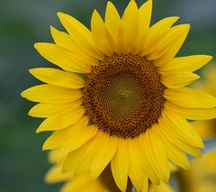 Ray of Sunshine (ksharp2) Tags: sunflower flower yellow seeds brown green stalk tall fields field sunflowers nature beautiful canon canon7dm2 canon7dmarkii sigma sigma150600nm singleflower washington dc kenilworth aquatic gardens