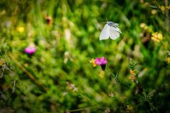 Butterfly in Flight Mode (*Capture the Moment*) Tags: 2018 butterfly fotowalk germany natur nature schmetterling sonya7m2 sonya7mii sonya7mark2 sonya7ii sonyfe55mmf18 sonyfe55mmf18za sonyilce7m2 zeisssonyfe1855