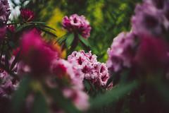 #245 - Rhododendron / Rododendron (photo.by.DK) Tags: pancolarauto5018mc pancolar pancolar50 pancolarauto50 pancolarauto pancolar5018 carlzeiss carlzeissjena carlzeissjenapancolar czj czjpancolar sonya7 sony sonyilce sonyalpha sonya7ii oldlens legacylens manuallens manualfocus manual manualondigital bokeh bokehlicious bokehful vintage vintagelens visualpoetry artbydk photobydk depthoffield wideopen wideopenbokeh shotwideopen