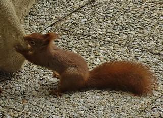 Eichhörnchen im Garten bei der Arbeit, Wo sind die Nüsse versteckt ?, 76372/10324