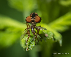 Robber Fly Eating 2 (strjustin) Tags: robberfly fly insect bug predator beautiful macro