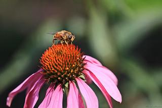 So buzzzzy in my garden