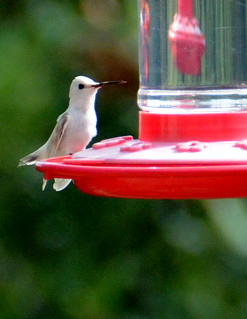 Leucistic Humming Bird