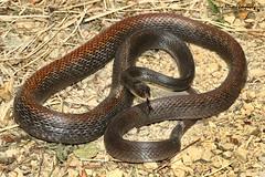 Papuan Taipan, Oxyuranus scutellatus (Midlands Reptiles & British Wildlife Diaries) Tags: papuanewguinea papuantaipan pngtaipan oxyuranusscutellatus dangeroussnake venomoussnake downunder herping pngherping herpspng herpetology davidnixon faunaforestecology snakebite venom venomous lifeincoldblood elapid elapidae pngelapids canon canon60mmmacrolens 580mk11 580mkii tropicalsnakes oxyuranusscutellatuscanii australiansnakes aussiesnakes snakesofpng snakesofpapuanewguinea snakesofaustralia