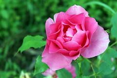 6 (watchfuleyephoto) Tags: flower flowers flora nature rose roses peony peonies