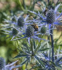 beee working (Deb Felmey) Tags: delaware delawarebotanicgardens gardens flowers southerndelaware flower nature meadow