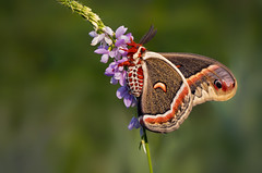Silk Moth - Hyalophora cecropia (Randy Lowden) Tags: silkmoth moth hyalophoracecropia niagara randylowden canon