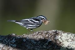 Black and White Warbler (Jesse_in_CT) Tags: blackandwhitewarbler warbler