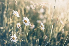 Dancers (sue.konvalinkova) Tags: daisy meadow morning bokeh white green grass low beautiful spring summer nature nikon