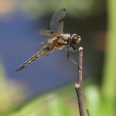 Libellula Quadrimaculata - Female (Visual Stripes) Tags: dragonfly odonata insect invertebrate composition handheld bokeh nature canoneos7d sigma150mm sigma14teleconverter macro