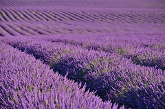 DSC_5131.1 (nickandedith) Tags: lavande lavender provence france fields purple valensole