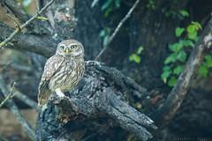 Chevêche d'Athéna Athene noctua - Little Owl (Julien Ruiz) Tags: canon ef 600mm f4l is ii usm chevêche dathéna athene noctua little owl