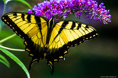 2018.07.04.0039 Swallowtail Butterfly (Brunswick Forge) Tags: 2018 outdoor outdoors nature wildlife grouped nikond500 tamron150600mm summer home house virginia animal animals animalportraits favorited commented